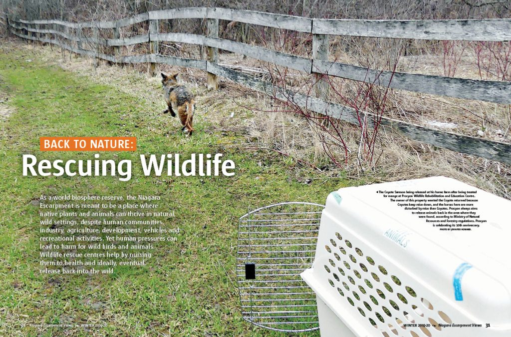 Page 30-31 of Winter 2020 issue. The coyote Samson being released at his home farm after being treated for mange at Procyon Wildlife Rehabilitation and Education Centre